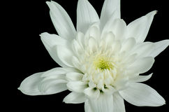 Μια άσπρη ντάλια στοκ φωτογραφίες με δικαίωμα ελεύθερης χρήσης