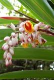 Μια άσπρη ορχιδέα, εξωτικό λουλούδι από την Κούβα Στοκ εικόνες με δικαίωμα ελεύθερης χρήσης