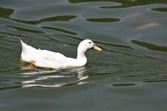 Μια άσπρη πάπια που κολυμπά στον κήπο λιμνών στοκ εικόνες
