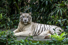 Μια άσπρη τίγρη ερευνά το πλήθος όπως χαλαρώνει στην περίφραξή του στο ζωολογικό κήπο της Σιγκαπούρης στη Σιγκαπούρη Στοκ Εικόνα