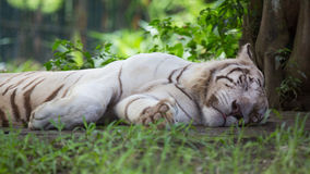 Μια άσπρη τίγρη Στοκ φωτογραφία με δικαίωμα ελεύθερης χρήσης