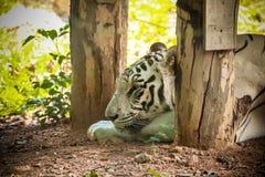 Μια άσπρη τίγρη Στοκ Φωτογραφία