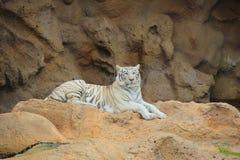 Μια άσπρη τίγρη Στοκ φωτογραφίες με δικαίωμα ελεύθερης χρήσης
