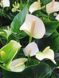 μια άσπρη Anthurium ρύθμιση Στοκ φωτογραφίες με δικαίωμα ελεύθερης χρήσης