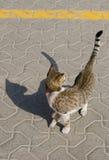 Μια άστεγη γάτα οδών που φωνάζει και που παρουσιάζει δόντια Στοκ Εικόνες