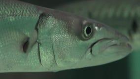 Μια άσχημη θαλάσσια ζωή ψαριών απόθεμα βίντεο