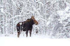 Μια άλκη στο δάσος Στοκ φωτογραφίες με δικαίωμα ελεύθερης χρήσης