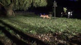 Μια έξυπνη αλεπού δεν οδηγεί το ευφυές ρακούν μακρυά από τη θέση σίτισής της απόθεμα βίντεο