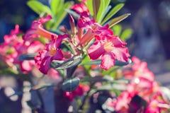 Μια έρημος multiflorum adenium λουλουδιών adenium κινηματογραφήσεων σε πρώτο πλάνο αυξήθηκε στοκ εικόνες