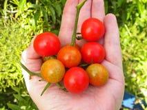 Ντομάτες κερασιών διαθέσιμες στοκ εικόνες