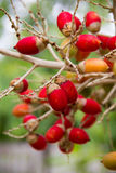 Μια δέσμη Areca του catechu στο δέντρο Στοκ φωτογραφία με δικαίωμα ελεύθερης χρήσης
