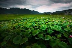 Μια λίμνη Lotus με τον πράσινο σίτο Στοκ Εικόνα