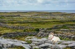 Μια αίγα που στηρίζεται στους βράχους, Inishmore, νησιά Aran, Ιρλανδία Στοκ Φωτογραφία