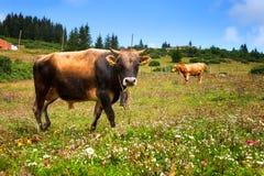 Μια αγελάδα και ένας ταύρος στη φύση στοκ φωτογραφίες με δικαίωμα ελεύθερης χρήσης