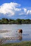 Μια αγελάδα στον ποταμό Στοκ φωτογραφία με δικαίωμα ελεύθερης χρήσης