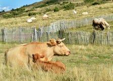 Μια αγελάδα με το μόσχο της Στοκ φωτογραφία με δικαίωμα ελεύθερης χρήσης