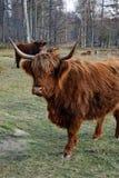 Μια αγελάδα ορεινών περιοχών στη σύντομη απόσταση Στοκ εικόνες με δικαίωμα ελεύθερης χρήσης