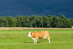 Μια αγελάδα στο λιβάδι Στοκ Εικόνες