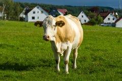 Μια αγελάδα στο λιβάδι Στοκ εικόνα με δικαίωμα ελεύθερης χρήσης