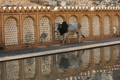 Μια αγελάδα στο ναό Galta στοκ φωτογραφίες με δικαίωμα ελεύθερης χρήσης