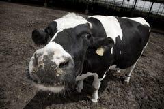 Τρελή αγελάδα Στοκ φωτογραφία με δικαίωμα ελεύθερης χρήσης