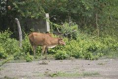 Μια αγελάδα τρώει τα τρόφιμα Στοκ φωτογραφία με δικαίωμα ελεύθερης χρήσης