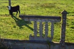 Μια αγελάδα Στοκ εικόνα με δικαίωμα ελεύθερης χρήσης