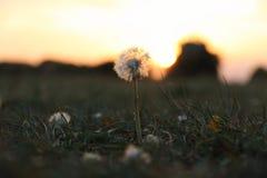Μια αισιόδοξη πικραλίδα στο ηλιοβασίλεμα Στοκ Φωτογραφία
