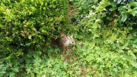 Μια αλεπού βγαίνει από μερικούς θάμνους στοκ φωτογραφίες με δικαίωμα ελεύθερης χρήσης