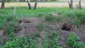 Μια αλεπού με μια αλεπού τρώει στην τρύπα φιλμ μικρού μήκους