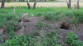 Μια αλεπού με μια αλεπού τρώει στην τρύπα απόθεμα βίντεο