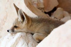 Μια αλεπού Fennec Στοκ Εικόνες