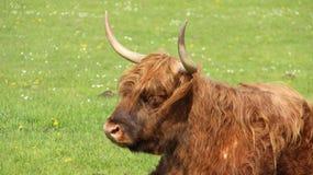 Μια ανάπαυση βισώνων του Bull στους πράσινους τομείς στοκ φωτογραφία με δικαίωμα ελεύθερης χρήσης