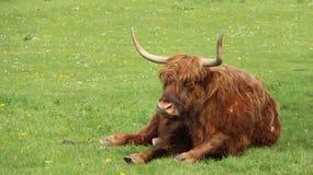 Μια ανάπαυση βισώνων του Bull στους πράσινους τομείς στοκ φωτογραφίες