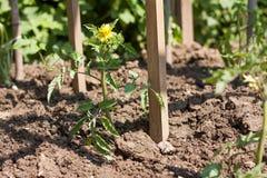 Μια ανάπτυξη τοματιών ανθίσματος νέα σε έναν κήπο Στοκ εικόνες με δικαίωμα ελεύθερης χρήσης