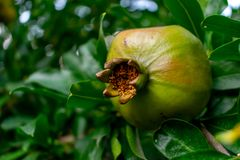 Μια ανάπτυξη φρούτων ροδιών σε έναν πράσινο κλάδο Το φύλλωμα στο υπόβαθρο στοκ εικόνες με δικαίωμα ελεύθερης χρήσης