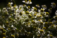 Μια ανθοδέσμη των ιατρικών μαργαριτών - μέρη των μικρών άσπρων λουλουδιών το καλοκαίρι στον ηλιόλουστο καιρό στοκ φωτογραφίες με δικαίωμα ελεύθερης χρήσης