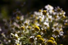 Μια ανθοδέσμη των ιατρικών μαργαριτών - μέρη των μικρών άσπρων λουλουδιών το καλοκαίρι στον ηλιόλουστο καιρό στοκ φωτογραφίες