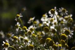 Μια ανθοδέσμη των ιατρικών μαργαριτών - μέρη των μικρών άσπρων λουλουδιών το καλοκαίρι στον ηλιόλουστο καιρό στοκ φωτογραφία με δικαίωμα ελεύθερης χρήσης