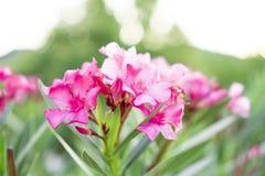 Μια ανθοδέσμη των καλών ρόδινων πετάλων ευώδους γλυκού Oleander ή αυξήθηκε κόλπος, η άνθιση σε πράσινο βγάζει φύλλα και μουτζουρω στοκ εικόνες