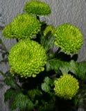 Μια ανθοδέσμη των κιτρινοπράσινων χρυσάνθεμων στοκ φωτογραφία