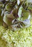 Μια ανθοδέσμη των τρυφερών πράσινων hydrangeas και των πράσινων γαρίφαλων Στοκ Εικόνες
