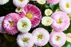 Μια ανθοδέσμη των όμορφων λουλουδιών μαργαριτών Στοκ Εικόνες