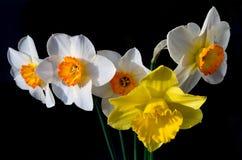 Μια ανθοδέσμη των daffodils αναμμένων από τον ήλιο στοκ φωτογραφίες