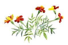 Μια ανθοδέσμη marigolds, ζωγραφική watercolor Στοκ Φωτογραφίες