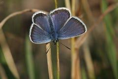 Μια ανοικτή ασημένιος-στερεωμένη μπλε πεταλούδα Plebejus Argus Στοκ Φωτογραφία