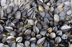 Μια αποικία των μυδιών θάλασσας στοκ εικόνα με δικαίωμα ελεύθερης χρήσης