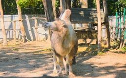 μια απομονωμένη καμήλα στο zoo& x27 s στοκ φωτογραφία με δικαίωμα ελεύθερης χρήσης