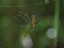 Μια αράχνη, ζωηρόχρωμη σφαίρα-ύφανση, Nephila pilipesn στον Ιστό σε Baan στοκ φωτογραφία με δικαίωμα ελεύθερης χρήσης