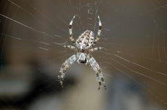 Μια αράχνη κήπων Στοκ φωτογραφία με δικαίωμα ελεύθερης χρήσης